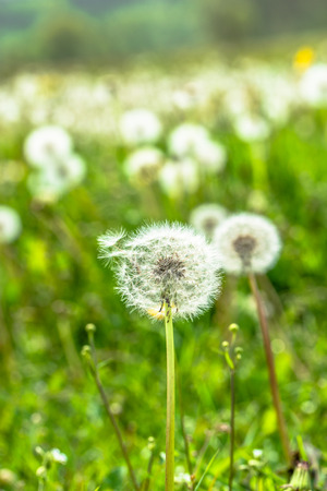 Spring dandelion seeds on field,  blurred background