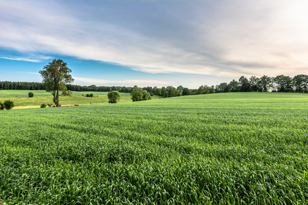 Cereal green field landscape, rural field in the summer Stock Photo