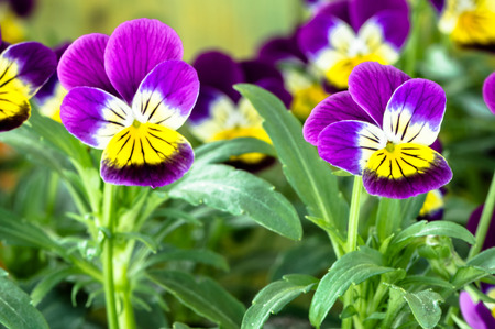 Violet pansy flower in the spring garden Stock Photo