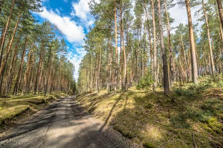 maleza: Camino en el bosque de pinos, paisaje de primavera