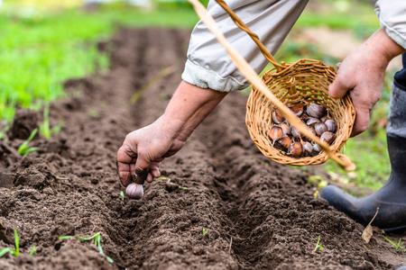 Farmer planting garlic in the vegetable garden. Autumn gardening. Local farming concept.