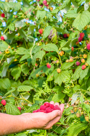 Hands picking fruits of raspberries from the bushes in the garden, autumn harvest season