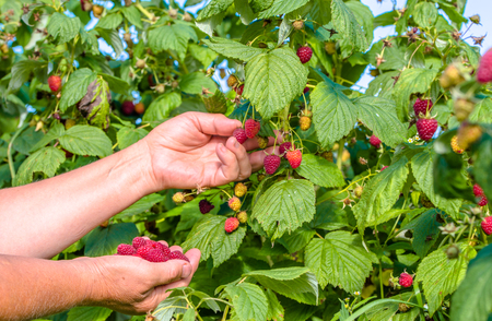 seasonal worker: Hands picking raspberry, fruits harvest in autumn season, seasonal worker in work on raspberry plantation