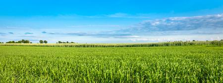 Panorama di campo verde e cielo blu, erba in primavera sfondo, cereali agricoli crop