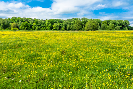 Flowers on meadow, spring background fresh green grass on field with yellow wildflowers