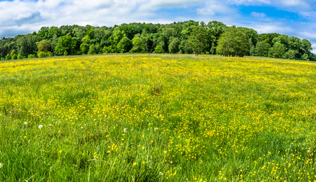 Yellow flowers on meadow, panoramic view Stock Photo