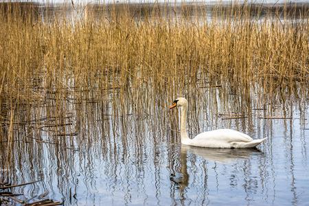 White swan on the lake among reeds