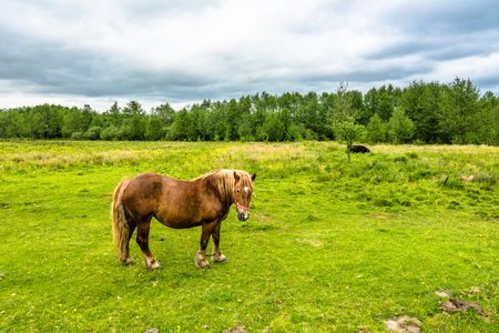 Polish horses ranch on green field, horse farm, country landscape