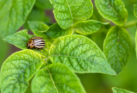 Colorado potato beetle on green potato leaves, macro Stok Fotoğraf