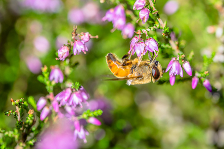 Macro of bee on heather flower in autumn, Poland
