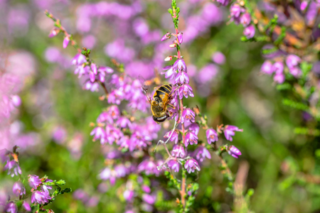 Bee on heather flower collects pollen for honey, autumn, Poland