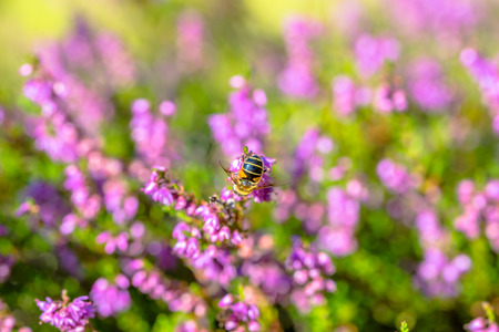 Beautiful autumn wallpaper with bee on heather flowers, macro, fall in Poland
