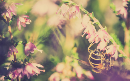 Beautiful bee on flower of heather in autumn, wallpaper, vintage photo