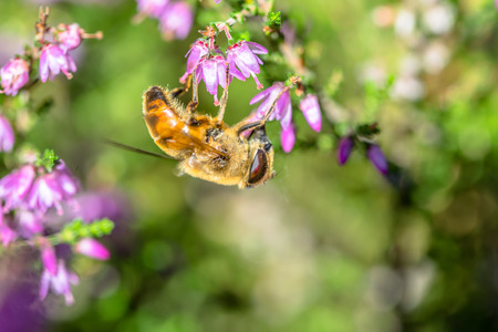 Beautiful heather flowers pollinated by bee, macro, autumn wallpaper