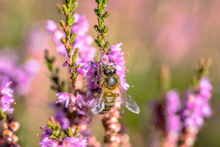 Beautiful bee macro. Heather flowers pollinated by bees, which collect pollen for flower honey in autumn, Poland Stock Photo
