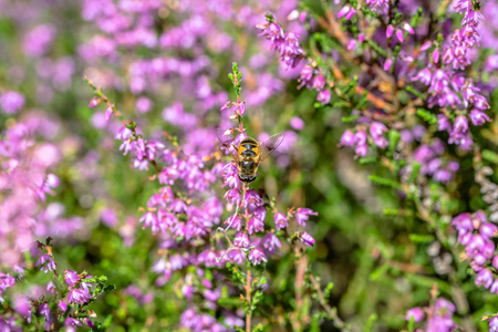 Beautiful bee macro. Heather flower pollinated by insects, which collect pollen for honey in autumn, Poland