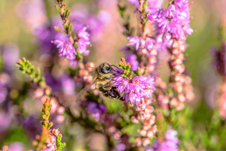 Beautiful bee macro. Flower pollinated by insects, which collect pollen for heather honey in autumn, Poland Stock Photo