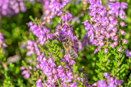 Beautiful heathers and bee collects pollen for honey heather, macro, autumn on moorland in Poland Stock Photo