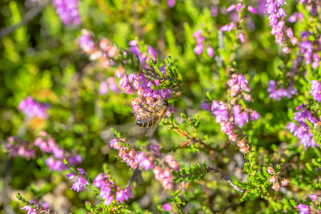 Beautiful heather polinated by bee, macro. Autumn backgrounds.