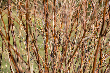 Nahaufnahme von Frühlingszweigen, kleine Schärfentiefe für Hintergrund Standard-Bild - 74650364