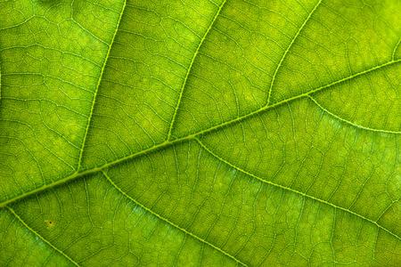 Fresh green leaf texture, leaf macro background