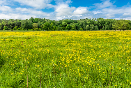 Yellow field of buttercup flowers, spring meadow near forest Stock Photo