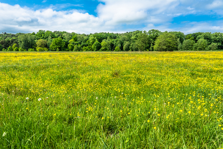 Field of spring flowers under blue sky and forest, landscape Stock Photo - 76596850