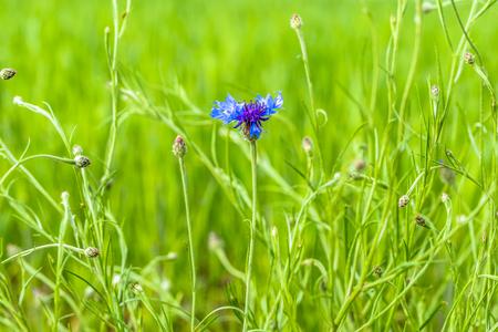 Blue cornflower in green field, wild flowers, summer background