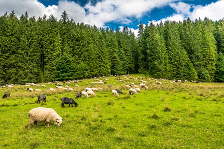 Flock of sheep on meadow in spring, landscape with fresh grass and green forest