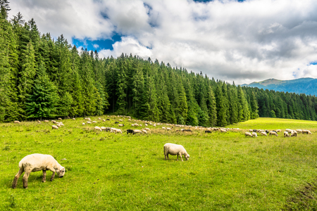 Mountain meadow with sheep herd, rural scene