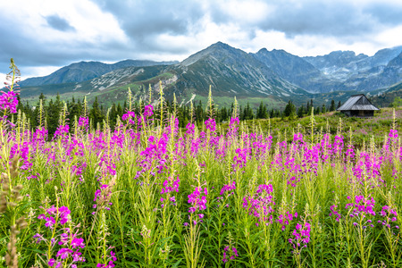 tatra: Summer flowers in mountain countryside scenery