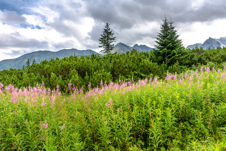 tatra: Mountain nature, summer flowers in mountains, landscape, National Park in Tatras
