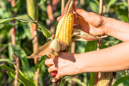 Womans Hands picking corn on field in harvesting autumn season, seasonal manual worker in work