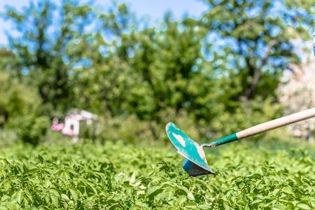 로컬 유기농 농장의 감자 농장, 수동 정원 도구가있는 감자 밭, 여름 정원 가꾸기