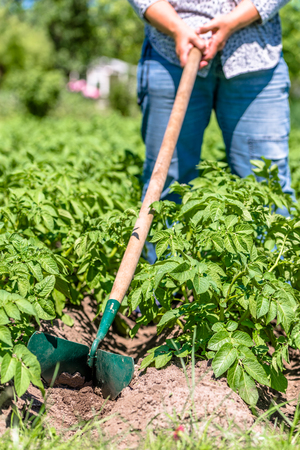 Potato farming in local organic farm, plowing potatoes with the manual garden tool, summer gardening