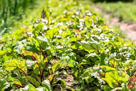 Biologische tuin met groenten, groene bieten verlaat op patch Stockfoto