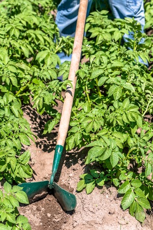 Green potato plants in the garden, plowing the field of potatoes with the manual garden tool, organic farming concept