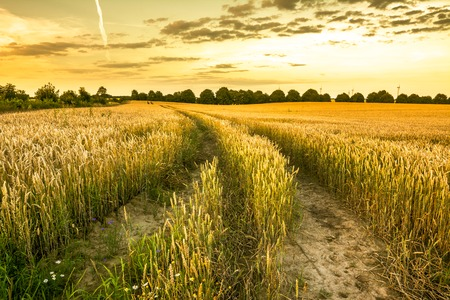 Weg auf dem Weizengebiet bei Sonnenuntergang, Ackerland mit Ernten, landwirtschaftliche Landschaftslandschaft Standard-Bild - 84288187
