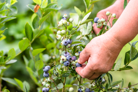 Woman picking blueberries, close-up of hands and berries growing on the bushes, seasonal blueberry harvest