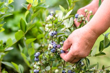 Mujer recogiendo arándanos, primer plano de manos y bayas que crecen en los arbustos, cosecha estacional de arándanos