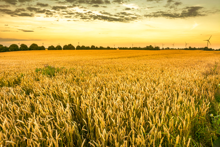 Golden wheat field and sunset sky, landscape of agricultural grain crops in harvest season, panoramic view