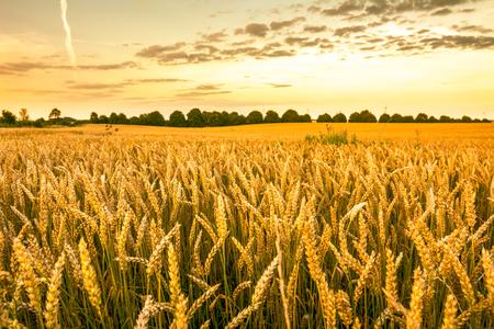 Campo de trigo dorado, paisaje de cultivos de cereales agrícolas y cielo del atardecer, vista panorámica
