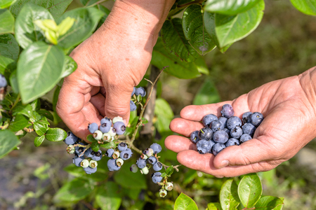 Berry harvest in the garden, organic produce picking, blueberries and hands, close-up