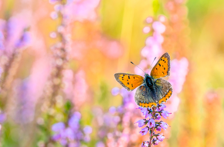 Beautiful butterfly on flowers of heather in autumn, backgrounds