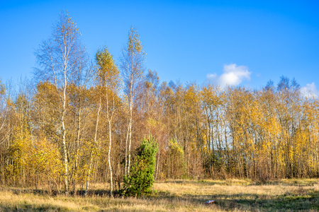 Scenic landscape of autumn, forest with yellow trees and blue sky, panoramic vista