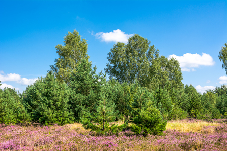 Early autumn landscape with field of heather in the forest, green pine trees under blue sky in sunny day