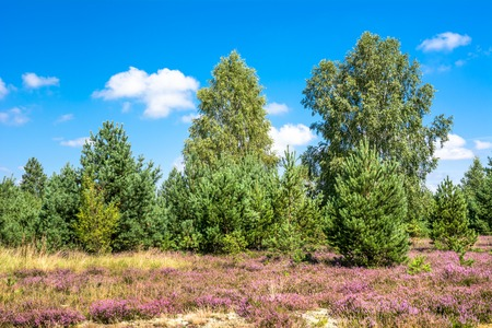 Field of heather flowers, autumn landscape