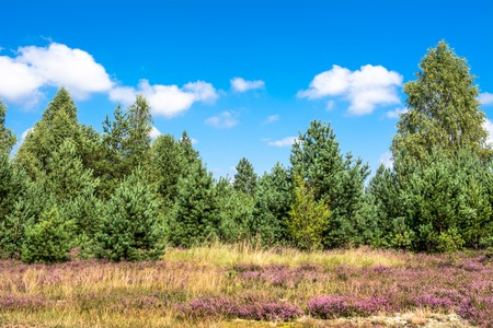 Pine forest and heather flowers field, autumn landscape with blue sky in sunny day
