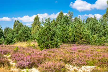 Pink heather flowers, autumn landscape with blue sky in sunny day Stock Photo