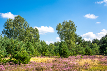 Pink heather flowers, autumn landscape with blue sky in sunny day Фото со стока